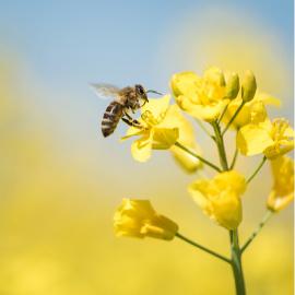 Il ruolo delle api nella frutticoltura