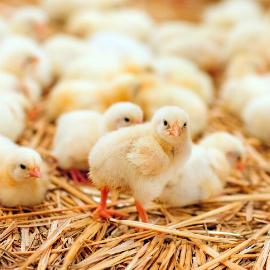 Allevamenti avicoli veneti, tra tradizione e innovazione