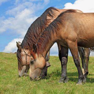 Saonara: quando il territorio si specializza in produzione di carne equina