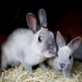 La situazione attuale degli allevamenti dei conigli in Veneto