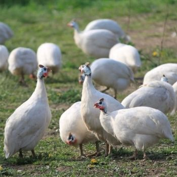 Faraona Camosciata: origini e particolarità di questa specie avicola veneta