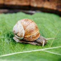 Elicicoltura, gli allevamenti di lumache prendono piede in Veneto