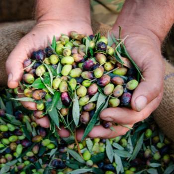 Olio d'oliva veneto: una realtà in crescita